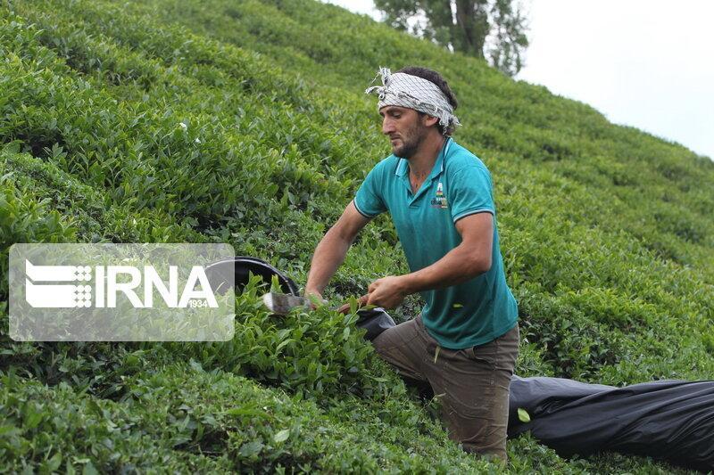 خبرنگاران رشد 27.7 درصدی قیمت خرید تضمینی برگ سبز چای در سال 99
