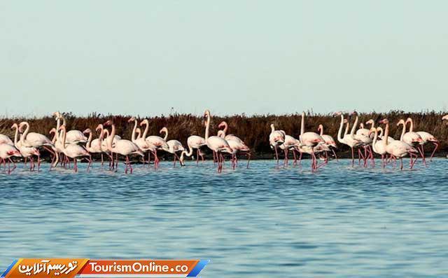 بازگشت فلامینگوها به سواحل دریاچه ارومیه
