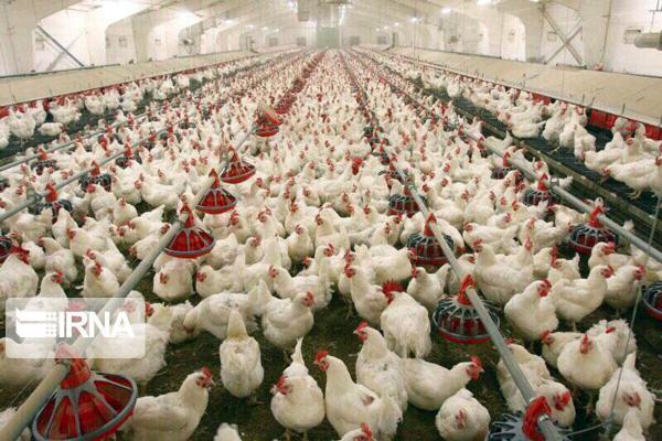 خبرنگاران ماهانه یک میلیون قطعه جوجه ریزی در واحدهای پرورش مرغ درقم انجام می شود