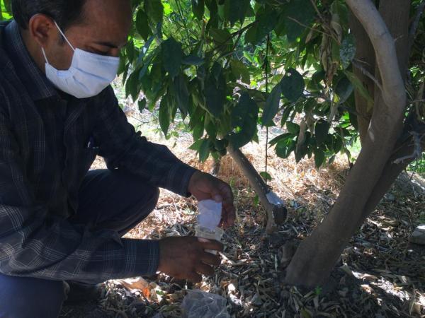 مبارزه بیولوژیک علیه آفت شپشک آرد آلو در باغات مرکبات جنوب کرمان